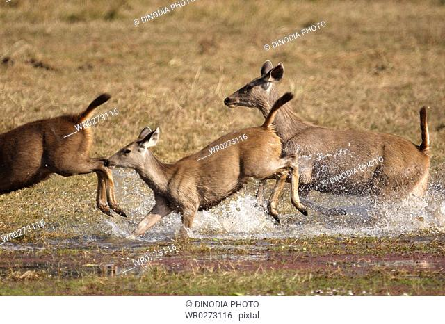 Herd of Sambar Deer Cervus unicolor running in Rajbagh lake , Ranthambore National Park , Rajasthan , India