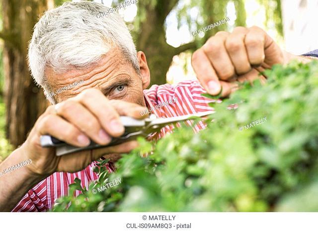 Mature man pruning bush with secateurs