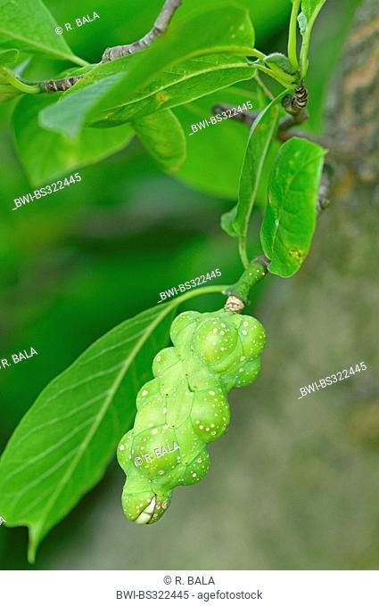 Kobus Magnolia (Magnolia kobus), infructescence