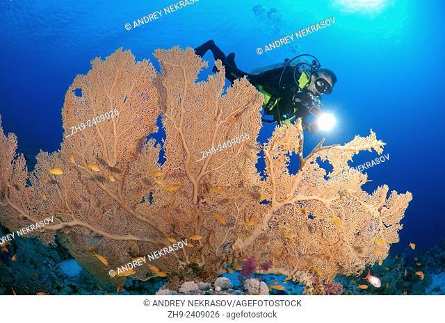 Diver looking at soft coral Venus fan or Venus sea fan, common sea fan, West Indian sea fan or purple gorgonian seafan (Gorgonia flabellum) in Ras Muhammad...