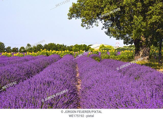 lavender fields with sunflowers, Provence, France, near Sainte-Croix-du-Verdon, department Alpes-de-Haute-Provence, region Provence-Alpes-Côte d'Azur