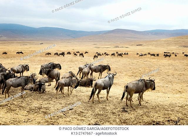 Wildebeests in Ngorongoro crater in Tanzania