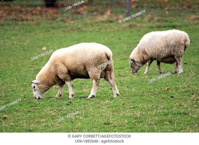 two sheep grazing on grass on a field