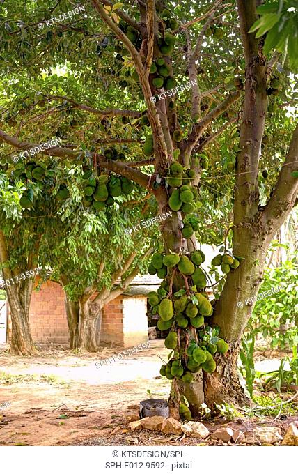 Jackfruit (Artocarpus heterophyllus) tree with fruit growing