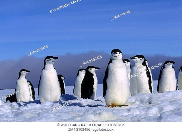 Chinstrap penguins (Pygoscelis antarcticus) at their nest sites which are still covered with snow in early spring on Zavodovski Island in the South Sandwich...