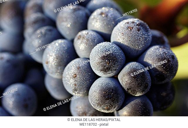 Tempranillo grapes closeup  Rioja alavesa wine route  Alava  Basque country  Spain