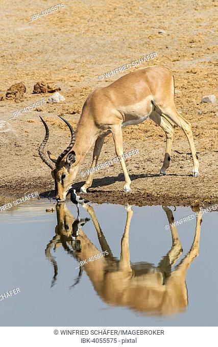 Black-faced Impala (Aepyceros melampus petersi), male, drinking at a waterhole, Etosha National Park, Namibia