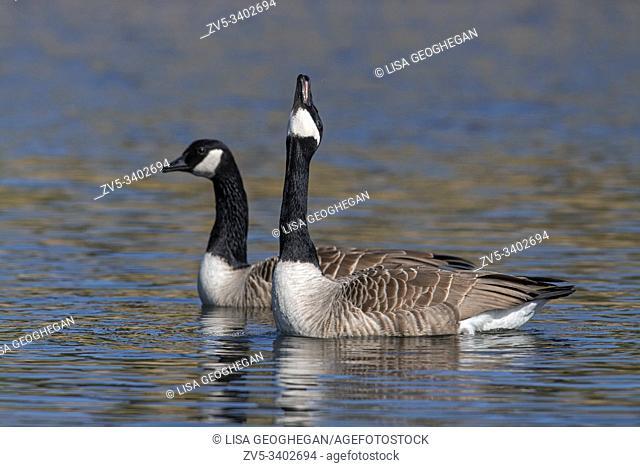 Canada Geese-Branta canadensis display courtship. Spring