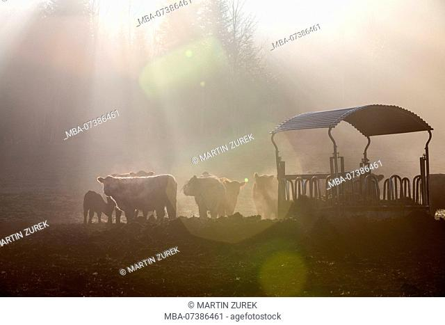 Galloway cattle, herd at the hay rack in the morning fog in sunshine, backlight, Germany, Bavaria, Allgäu