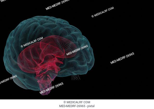 The brainstem