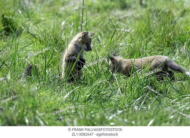 The cross fox kits (Vulpes vulpes) San Juan Island, USA