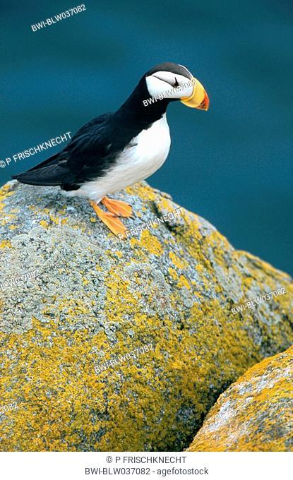 horned puffin Fratercula corniculata, individuum on a rock, USA, Alaska