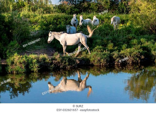 Portrait of the White Camargue Horses reflected in the water. White Camargue Horses standing in the swamps of the Nature reserve in the Parc Regional de...