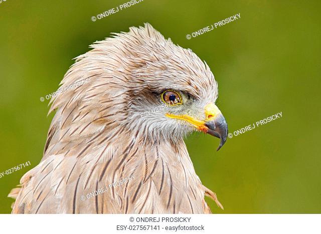 Black Kite, Milvus migrans, brown bird of prey sitting larch tree