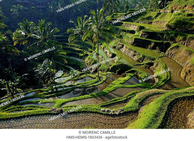 Indonesia, Bali, near Ubud, Tegalalang, rice field