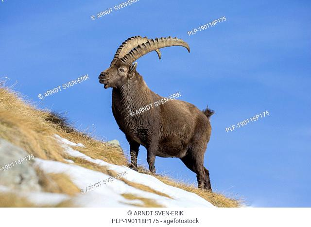Alpine ibex (Capra ibex) male foraging in the snow on mountain slope in winter in the European Alps