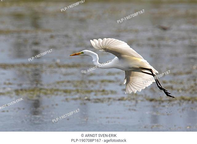 Great egret / common egret / great white egret (Ardea alba / Egretta alba) landing in shallow water of lake with spread wings