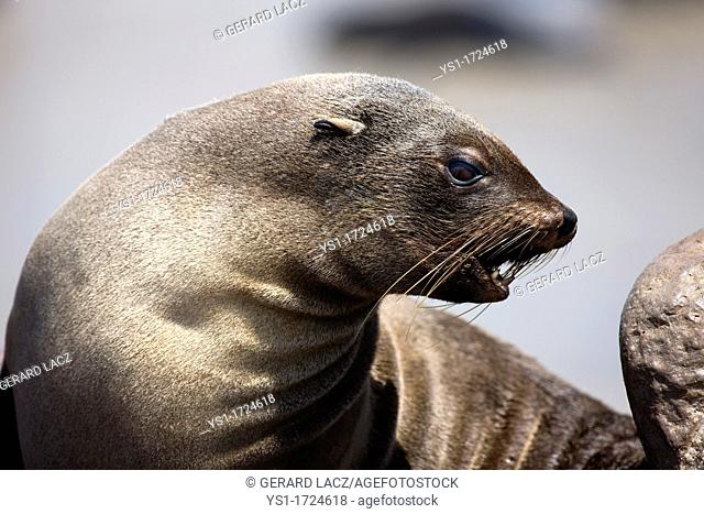 South African Fur Seal, arctocephalus pusillus, Female, Cape Cross in Namibia