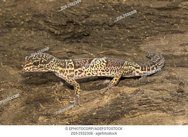 Leopard gecko, Eublepharis satpuraensis, Eublepharidae, Madhya Pradesh, India