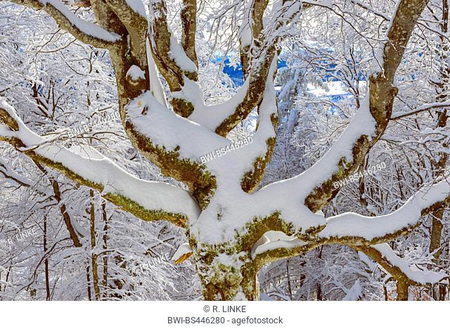 common beech (Fagus sylvatica), snow covered tree in winter, Germany, Baden-Wuerttemberg, Black Forest, Schauinsland