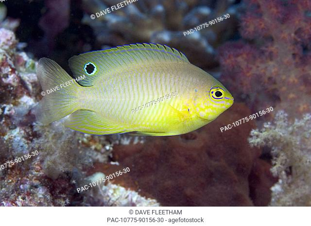 Indonesia, Ambon Damselfish (Pomacentrus amboinensis)
