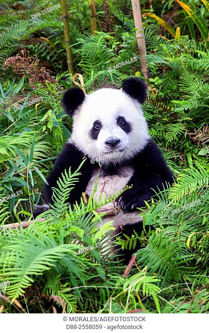 Asia, China, Sichuan, Research Base of Giant Panda Breeding or Chengdu Panda Base, Giant Panda Ailuropoda melanoleuca, captive,