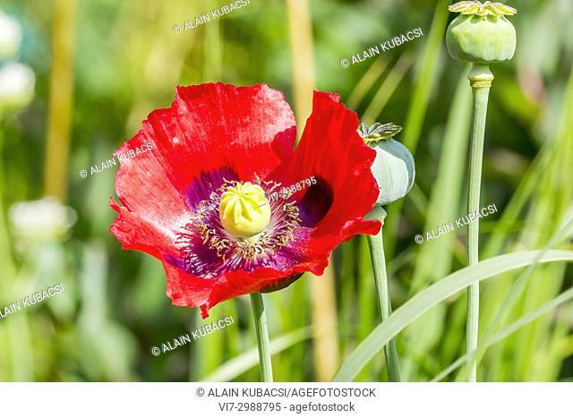 Opium Poppy 'Le Géant' / Papaver somniferum 'Le Géant'