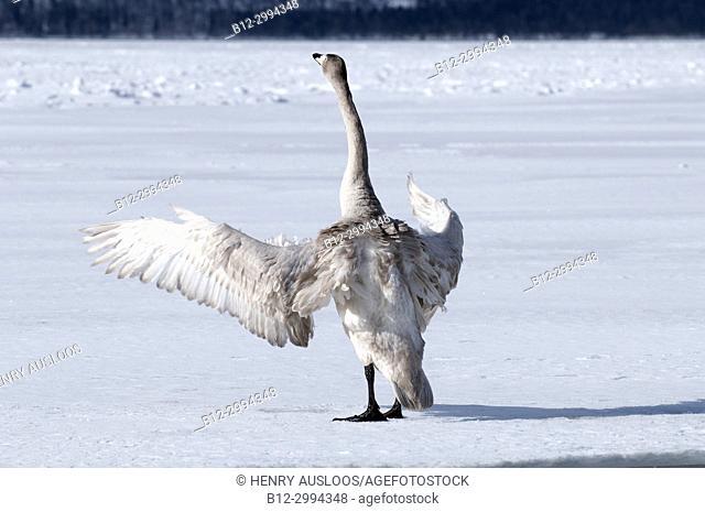 Whooper swan (Cygnus cygnus) young, Japan