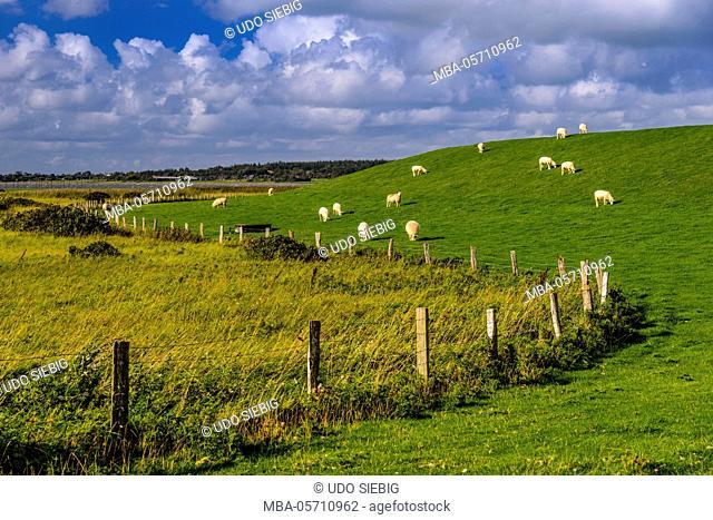 Germany, Schleswig-Holstein, North Frisia, 'Husumer Bucht' (bay), Husum, Dockkoog, dyke, sheeps