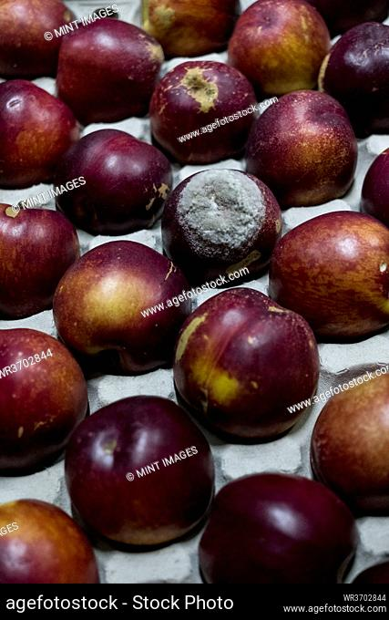 High angle close up of freshly picked nectarines