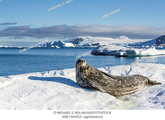 Weddell seal, Leptonychotes weddellii, hauled out on ice in Cierva Cove, Antarctica, Southern Ocean