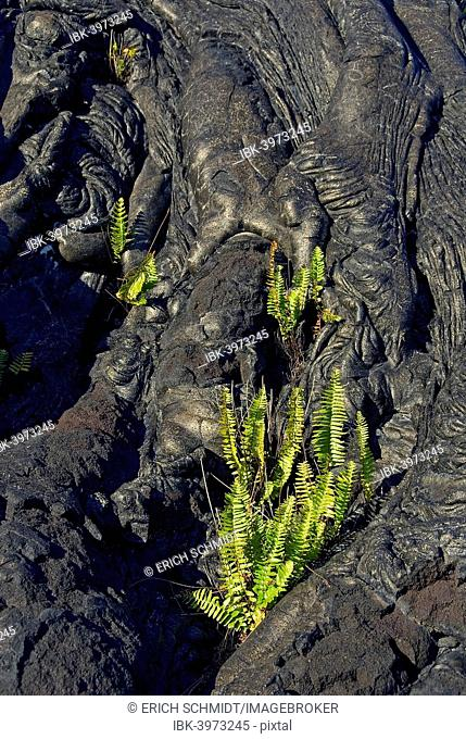 Plants growing on lava, Kilauea, Big Island, Hawaii, United States