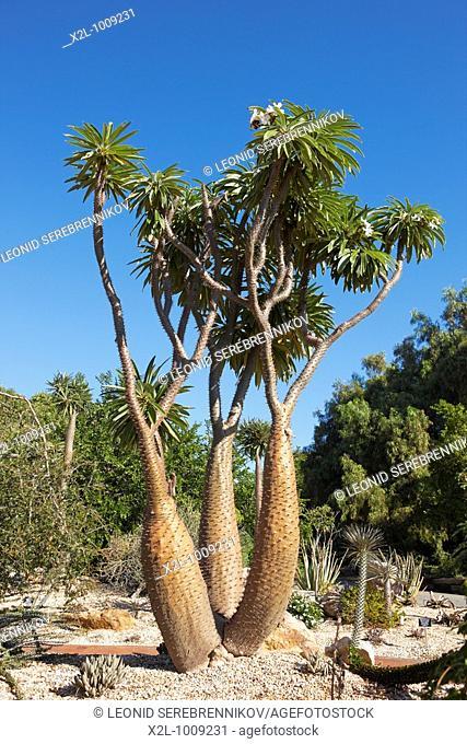 Madagascar Palm, or Club Foot  Scientific name: Pachypodium lamerei  Los Angeles County Arboretum and Botanic Garden, Los Angeles, California, USA