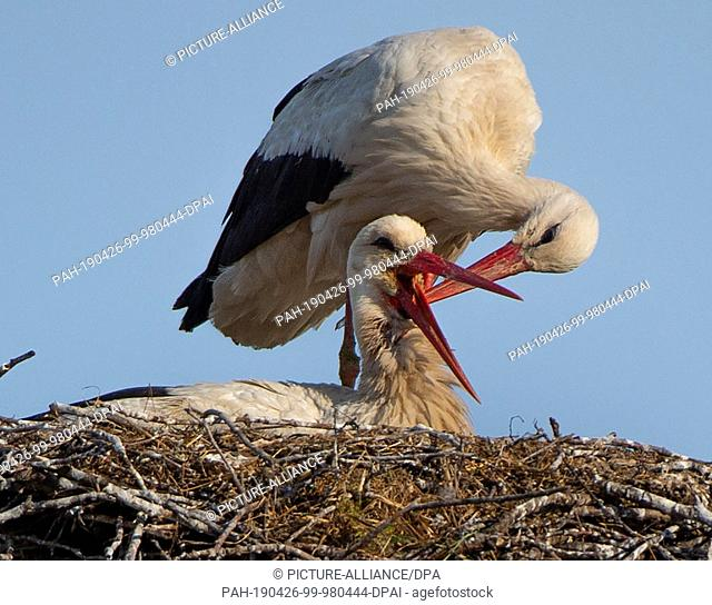 26 April 2019, Brandenburg, Raddusch: A male stork scratches the neck of its female, which sits in the nest and hatches the clutch