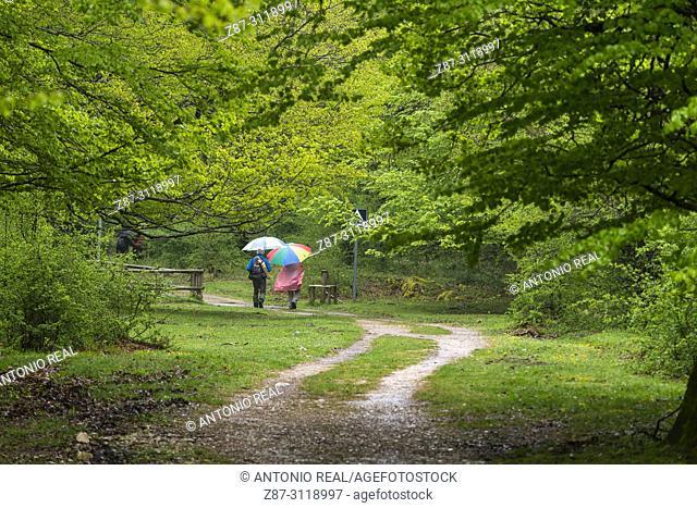 People walking in a beech wood. Parque Natural Sierra de Urbasa. Navarra. Spain