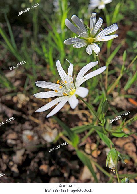 easterbell starwort, greater stitchwort (Stellaria holostea), flowers, Germany, North Rhine-Westphalia