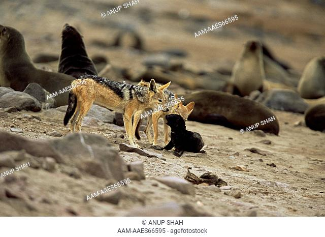 Black-backed Jackals (Canis mesomelas) attack Cape fur seal pup (Arctocephalus pusillus) Cape Cross Seal Reserve, Namibia. prey