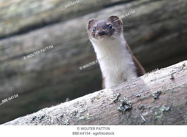 Weasel (mustela nivalis) in a woodpile looking for food