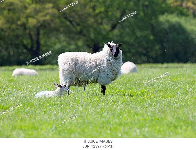 Portrait of sheep and lamb in sunny green spring field
