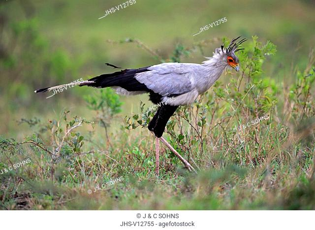 Secretary Bird, (Sagittarius serpentarius), adult hunting, Hluhluwe Umfolozi Nationalpark, Hluhluwe iMfolozi Nationalpark, KwaZulu Natal, South Africa, Africa