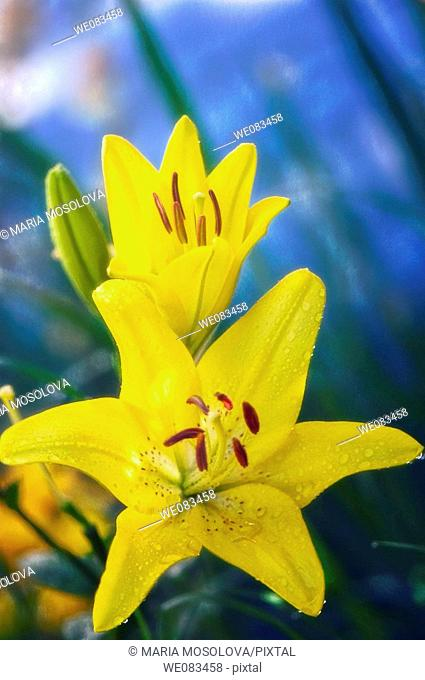 Yellow Asiatic Lily. Lilium hybrid. June 2008, Maryland, USA