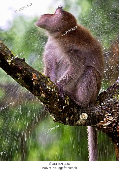 Long-tailed macaque Macaca fascicularis shaking off excess water after taking a bath, Borneo