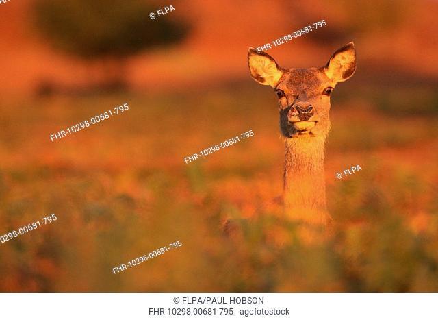 Red Deer Cervus elaphus hind, amongst bracken in morning sunlight, Bradgate Park, Leicestershire, England