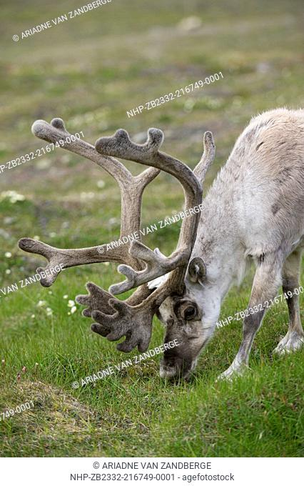 Svalbard reindeer, Rangifer tarandus platyrhynchus, Spitsbergen, Svalbard, Arctic