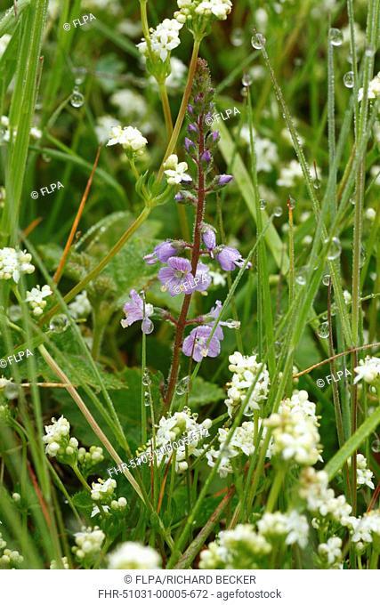 Heath Speedwell Veronica officinallis flowering, growing amongst Heath Bedstraw Galium saxatile in grassland, Powys, Wales, june