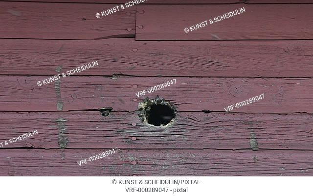 Wild bees have built theit nest in a wooden wall using a hole made y a woodpecker. Noraström, Västernorrlands Län, Sweden