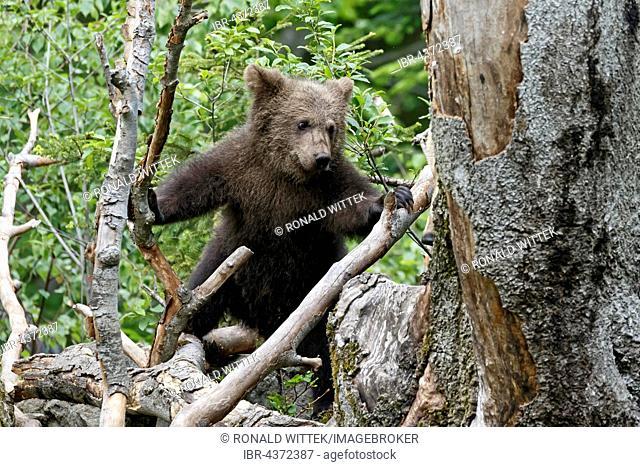 Brown bear (Ursus arctos) cub climbing tree, captive, Bavarian Forest National Park, Bavaria, Germany