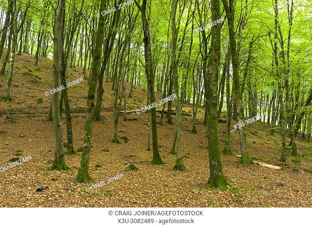 Common Beach trees in Barton Wood in Exmoor National Park, Devon, England