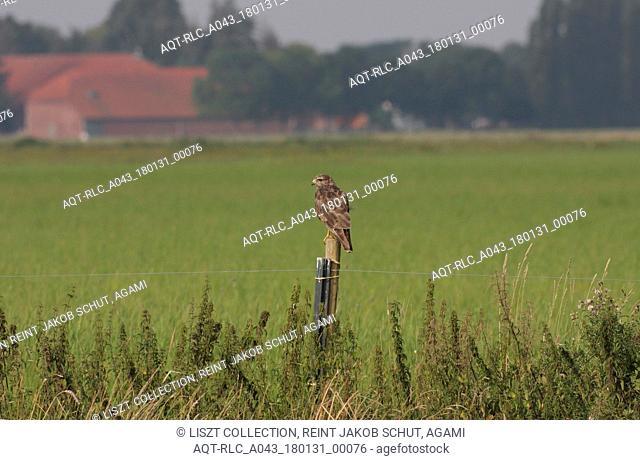Common Buzzard perched on pole, Common Buzzard, Buteo buteo