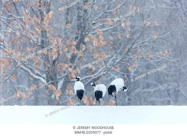 Red crowned cranes walking in snowy landscape